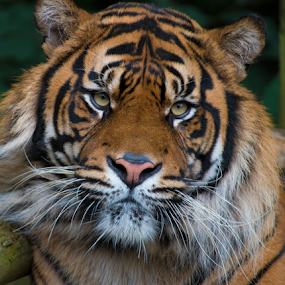 Relaxing Tiger by John Dutton - Animals Lions, Tigers & Big Cats ( tiger, sumatran, stripes, sumatran tiger, portrait )