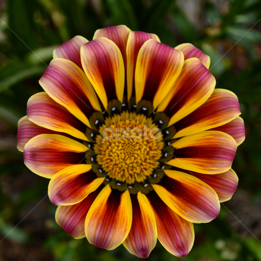 Yellow and purple flower by Anastasis Agathokleous - Flowers Single Flower ( macro, nature, macro photography, single flower, nature up close, yellow flower, flower,  )