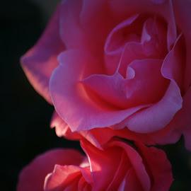 Roses by Brenda Shoemake - Flowers Flower Buds (  )