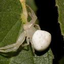 Flower Crab Spider [female]