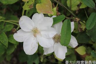 Photo: 拍攝地點: 梅峰-溫帶花卉區 拍攝植物: 鐵線蓮 拍攝日期: 2015_06_09_FY