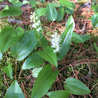 False lily of the valley, Canada mayflower