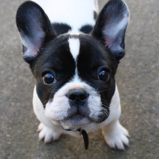 French Bulldog Dogs Wallpapers