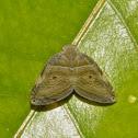 Ricaniid Planthopper.