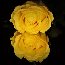 rose by Gilly Ripacandida - Uncategorized All Uncategorized ( reflection, yellow, single flower, rose, flower,  )