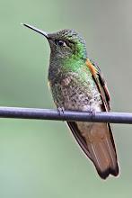 Photo: Buff-tailed Coronet