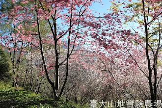 Photo: 拍攝地點: 梅峰-梅楓園 拍攝植物:櫻(粉色 富士櫻)與暖地櫻桃(白色) 拍攝日期:2013_02_15_FY