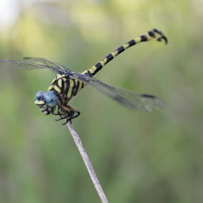 Tiger Dragon Fly by Nizar Zulhilmi - Animals Insects & Spiders