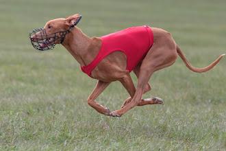 Photo: Coursing, Pharaoh hound, Spitzerberg