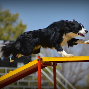 Border Collie Agility by Christil-Photography Bloemfontein - Animals - Dogs Running ( border collie, black and white, dog walk, running, agility )