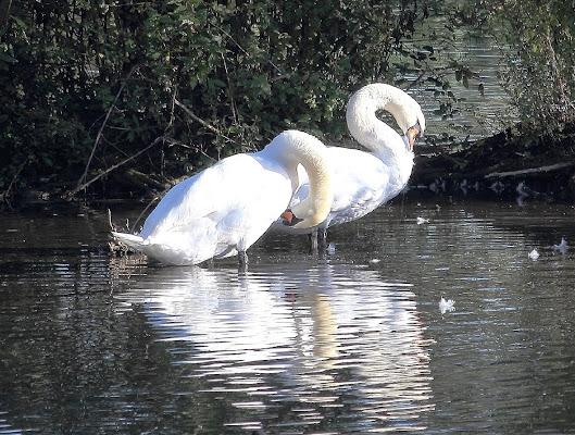 Lago dei cigni di Photolo