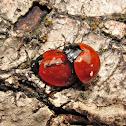 Besouro-dos-fungos