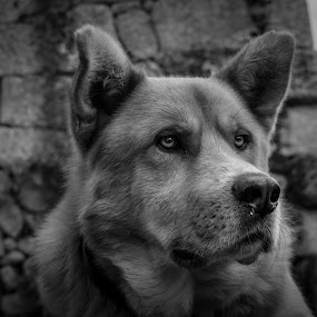 Protector by Carlos Kiroga - Black & White Animals ( life, friends, nature, black and white, friendship, loyalty, security, cute, dog, photography, animal, eyes )