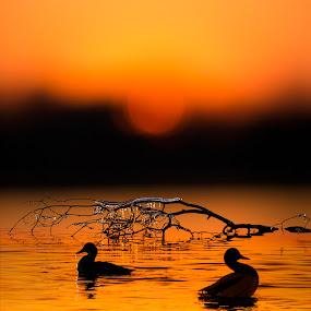 sunset ducks by Marianna Armata - Backgrounds Nature ( water, sunset, ice, ducks, branch, landscape, marianna armata, frozen,  )
