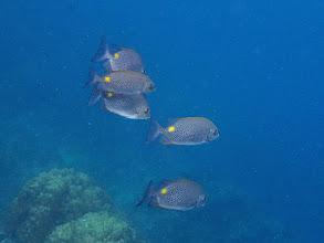 Photo: Siganus guttatus (Gold-spot Rabbitfish), Miniloc Island Resort reef, Palawan, Philippines.