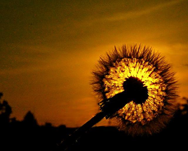 Soffione al tramonto di AlfredoNegroni