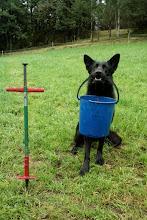 Photo: Working German Shepherd. Vilma er med på jobb og tar jordprøver.
