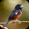 Bullfinch bird singing icon
