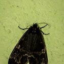 Pericopine Moth