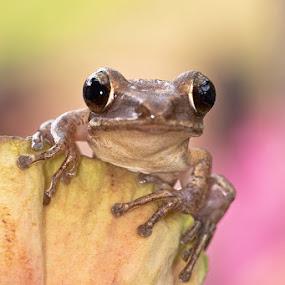 caught on camera by Lessy Sebastian - Animals Amphibians ( natures, lotus, animals, frog, wildlife, amphibians )
