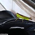 Japanese Rice Grasshopper