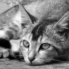 Cat  by Asif Bora - Black & White Animals (  )