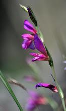 Photo: Gladiolus italicus