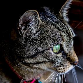 Cat Portrait  by Danny Andreini - Animals - Cats Portraits ( contrast, kitten, cat, life, indoor, shadow, wildlife, live, animal, room )