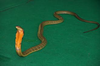 Photo: King Cobra