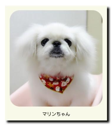 ペキニーズ(パピー・子犬)のマリンちゃん