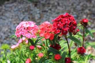 Photo: 拍攝地點: 梅峰-溫帶花卉區 拍攝植物: 美女撫子 拍攝日期: 2014_02_18_FY
