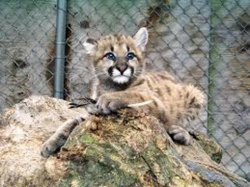 Baby Cougar Kittens Wallpapers