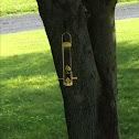 Yellow Finch/Golden Finch