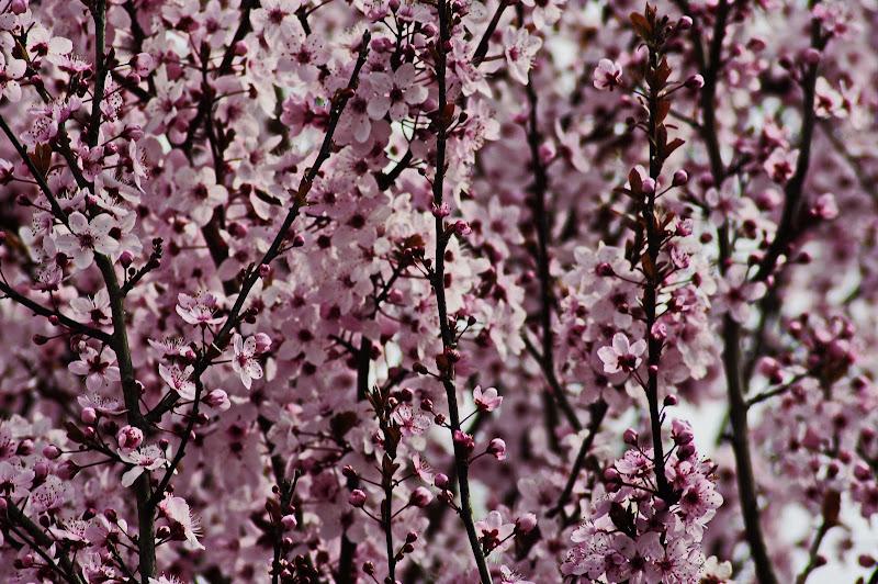 fori rosa, fiori di pesco, un anno fà......... di jovi55