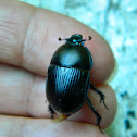 Geotrupes dung beetle