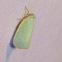 Northern Flatid Planthopper