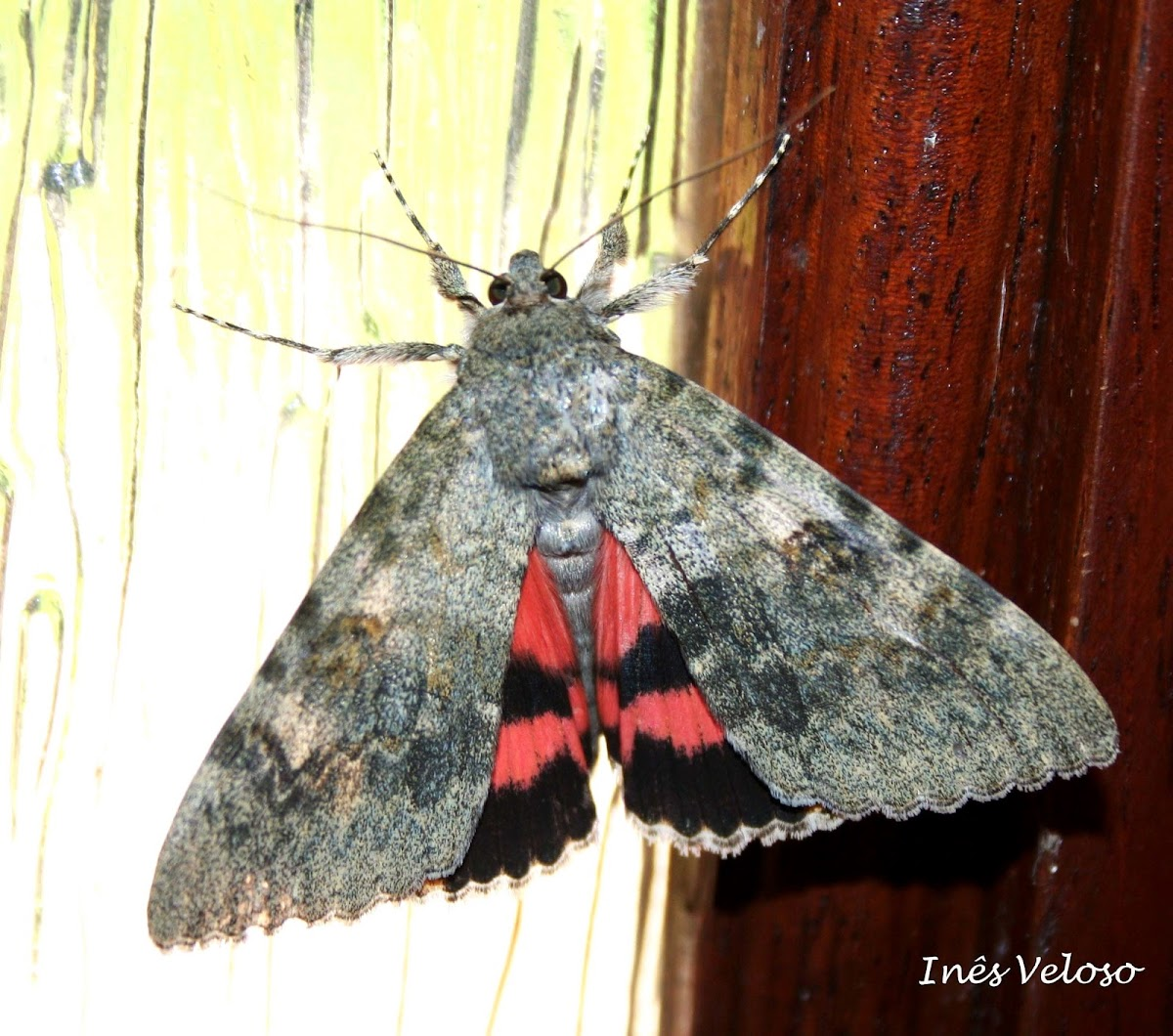 Red Underwing Moth