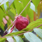 Sumac Gall Aphid