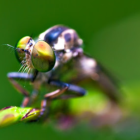 Young Robberfly by Ram Suson - Animals Insects & Spiders ( young robberfly macro, singapore robberfly, robberfly )