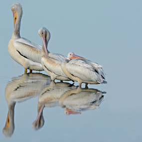 by Shelly Wetzel - Animals Birds ( pelicans )