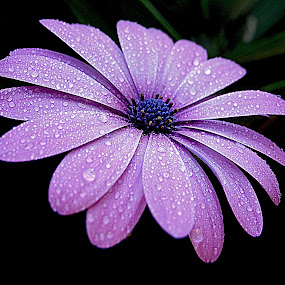 Another rainy day. by Dave  Horne - Flowers Single Flower