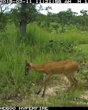 Photo: Male duiker looking surprised; Bambi macho parecendo surpreso.
