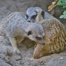 by Jim Jones - Animals Other ( nature, animal, animals, meerkat )