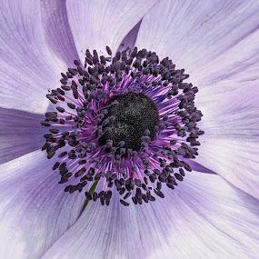 Anemone 2 by Jim Salvas - Flowers Single Flower ( purple, anemone, white, stamen, seeds, blossom, flower )