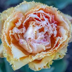 Flower by Rajib Bahar - Flowers Single Flower (  )