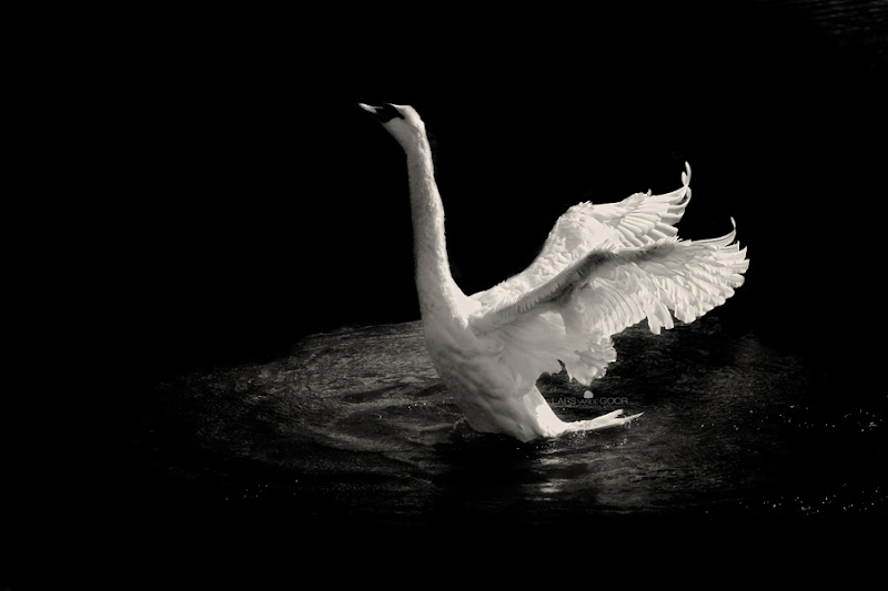 Photo: Swan Dance At Night