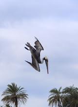 Photo: Brown pelican - dive sequence at Estero Garza