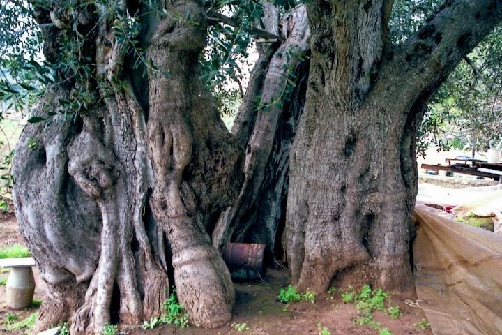 Alter zerklüfteter Olivenbaum.