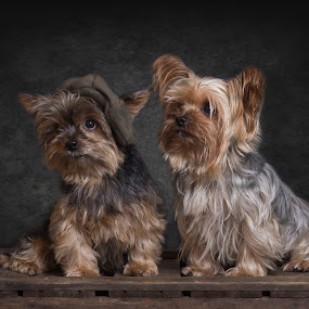 brothers by Anja Voorn - Animals - Dogs Portraits