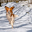 Joys of Spring by Colin Harley - Animals - Dogs Running ( tosca, kooikerhondje, d750, forest, kooiker, pup, sun, trees, spring, nikon, nikkor, sweden, puppy, 24-120mm, snow, dog )